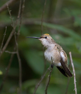 Black-chinned Hummingbird | by Sarbhloh/Harjeet