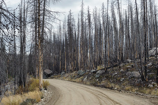 Stand of burned trees