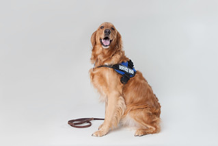 Golden Retriever Service Dog 5 | by Found Animals