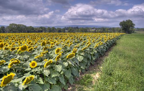 plants field sunflowers sunflower