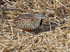 Barred Buttonquail by Wild Chroma