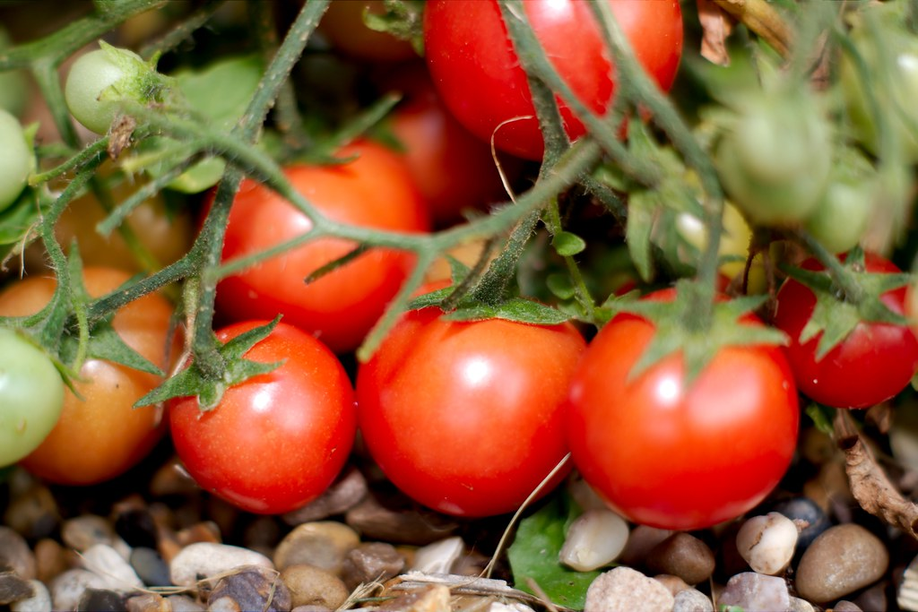 Eight Useful Facts about Tomatoes And You Really Need To More About Tomatoes