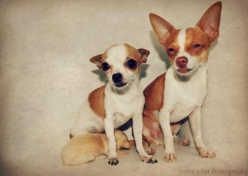 Family of Chihuahuas