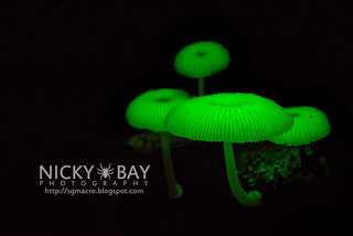 Bioluminescent Fungi (Mycena illuminans) - DSC_7997
