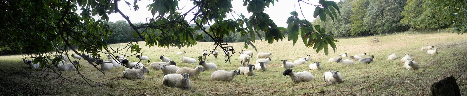 Sheep in the shade Haslemere Circular