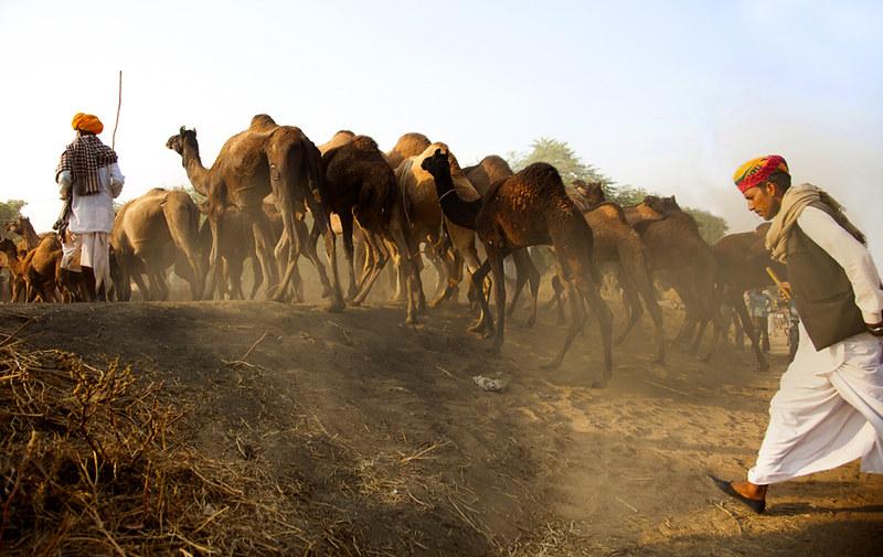 7063 Joining the camel fair--Pushkar , India