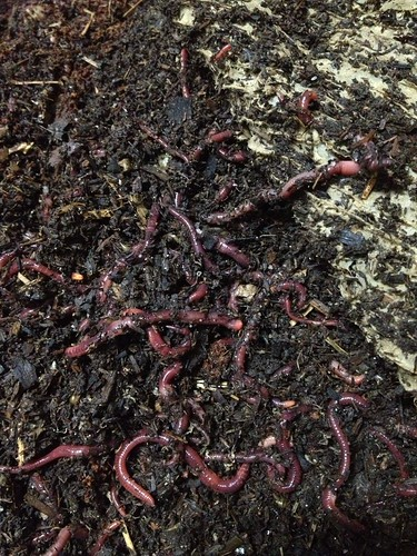 Worms in their new home   by sridgway
