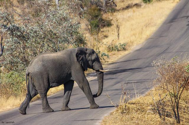 African Elephant(Loxodonta africana) - em liberdade(WilLife)