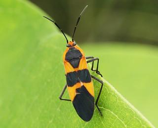 Large Milkweed Bug | by Graeme Simpson Images