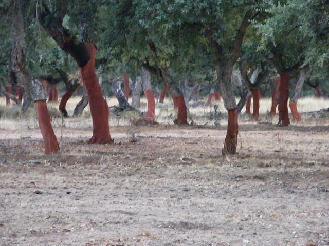 Alcornoques descorchados (Montepalacios, Paradas)