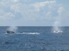 do, 30/08/2012 - 12:28 - 038. Walvisshow vlak voor aanloop Port Louis op Mauritius