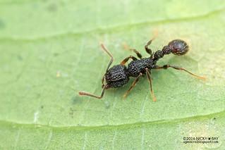 Ant (Tetramorium sp.) - DSC_0495