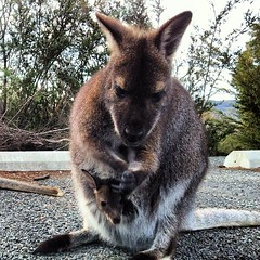 A wallaby and her baby, Tasmania, Australia. This one and another one practically tried to get in the car with me!