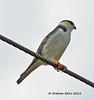 Pearl Kite,   Elanio Enano,   Gampsonyx swainsonii, by Graham Ekins