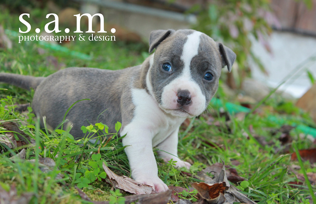 American Bully Male Puppy Jaxson | Rock City Kennels present… | Flickr