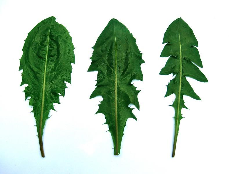 Some dandelion leaf shape variations