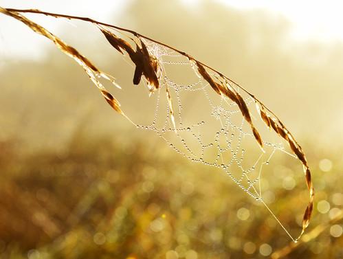 morning abstract macro nature sunrise photography golden cobweb dew hertfordshire harpenden leavalley riverlea timandrews batford