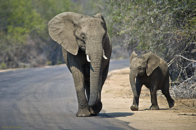African Bush Elephants....Kruger N.P., S.A.   (Loxodonta africana)