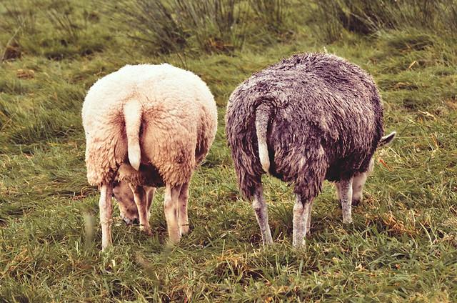 Sheeps bottoms