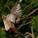Song Sparrow on the wing