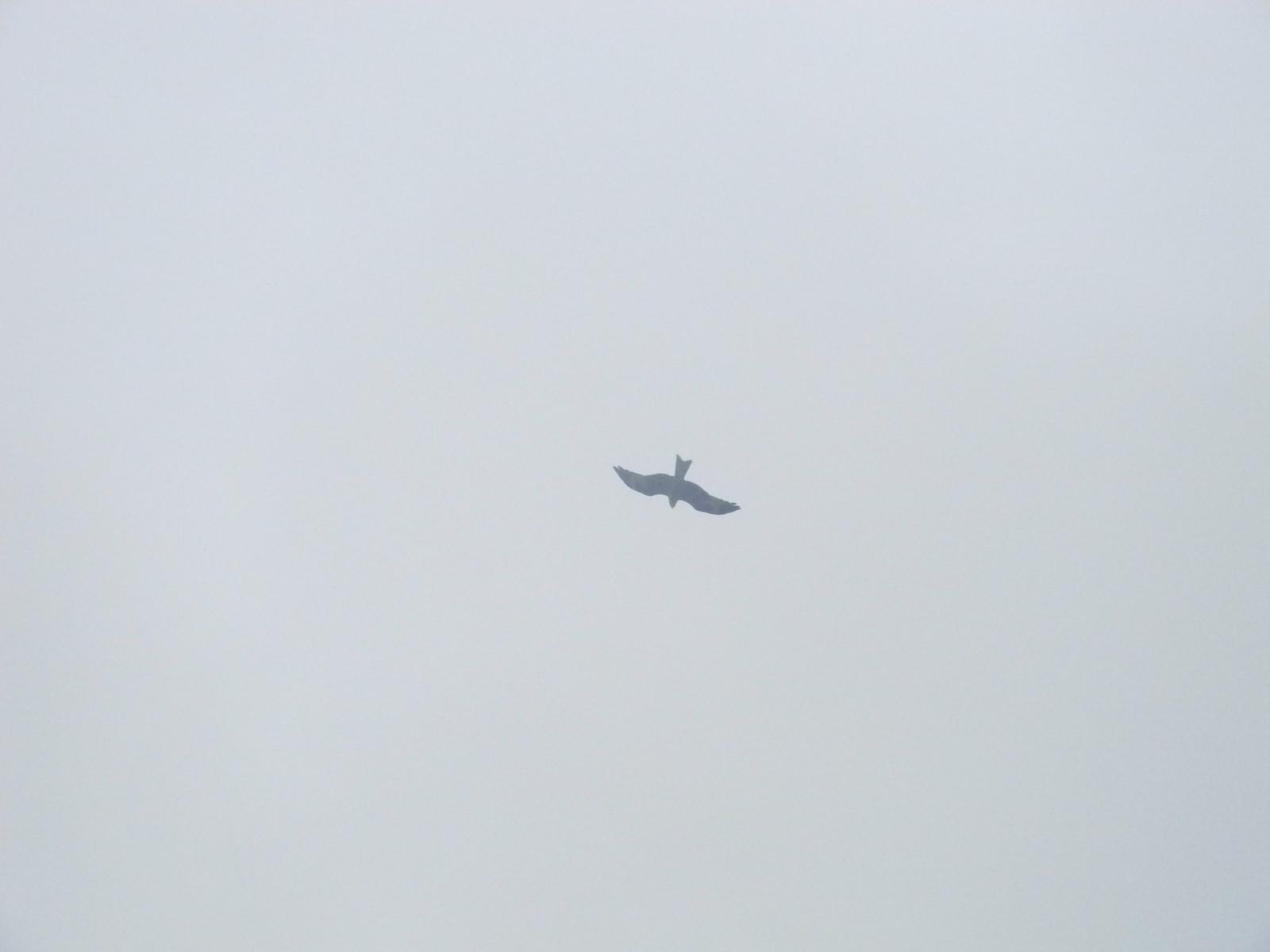 Red kite Henley via Stonor