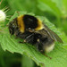 Bombus ruderatus (Large Garden or Ruderal Bumblebee)