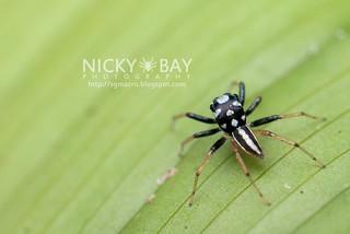 Jumping Spider (Phintella sp.) - DSC_7185