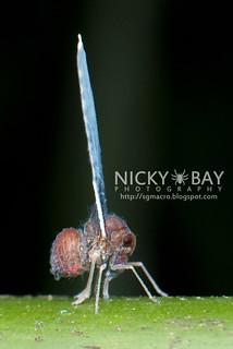 Derbid Planthopper (Derbidae) - DSC_7118