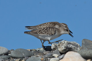 Semipamated Sandpiper | by Laura Erickson