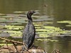 Little Black Cormorant by gardener54