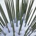 Winter Yucca
