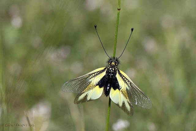 Libelloides cunii (Selys-Longchamps-1880)