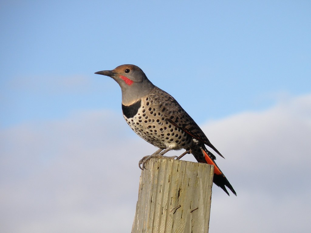 PA142744......Northern Flicker  red-shafted male