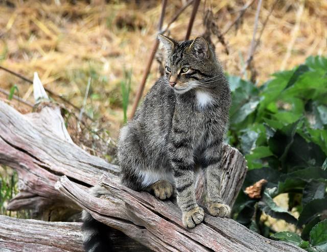 Scottish Wild Cat watches.