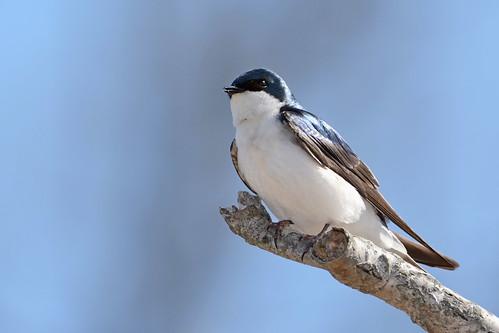 brilliant birds nikon nikond7100 tamronsp150600mmf563divc jdawildlife johnny portrait closeup eyecontact swallows swallowtree treeswallow whatbirdbestofday