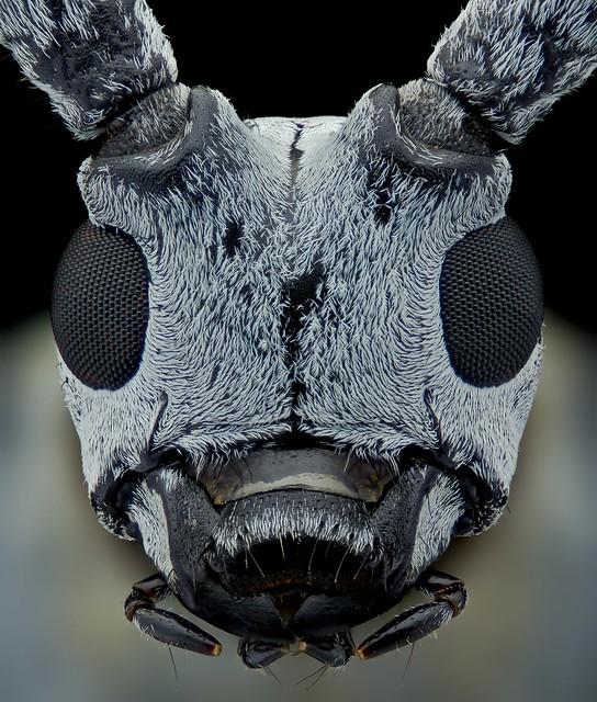 Portrait long horn beetle
