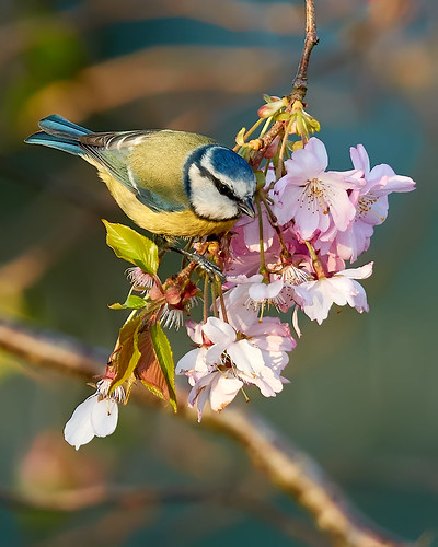 BLUE TIT ON CHERRY BLOSSOM | by Robin Procter