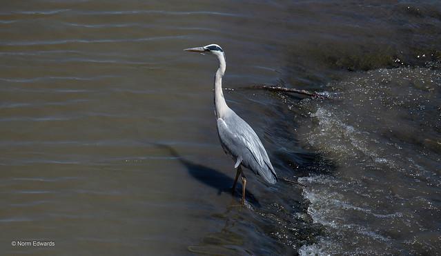 Heron, River Dee