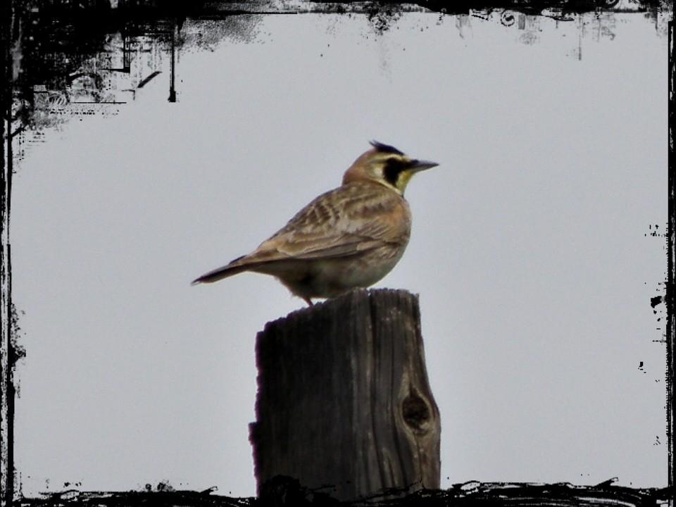 P6086445...horned lark