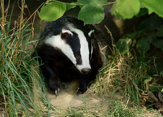 Badger | by Peter G Trimming