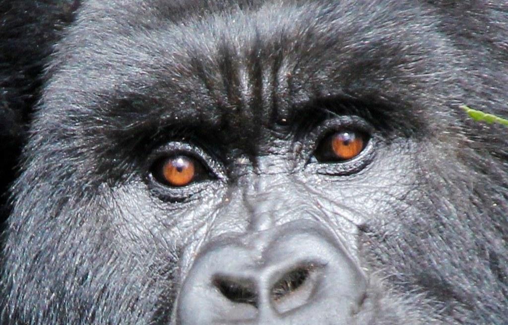 Rwanda Volcanoes National Park Gorilla Trekking Flickr