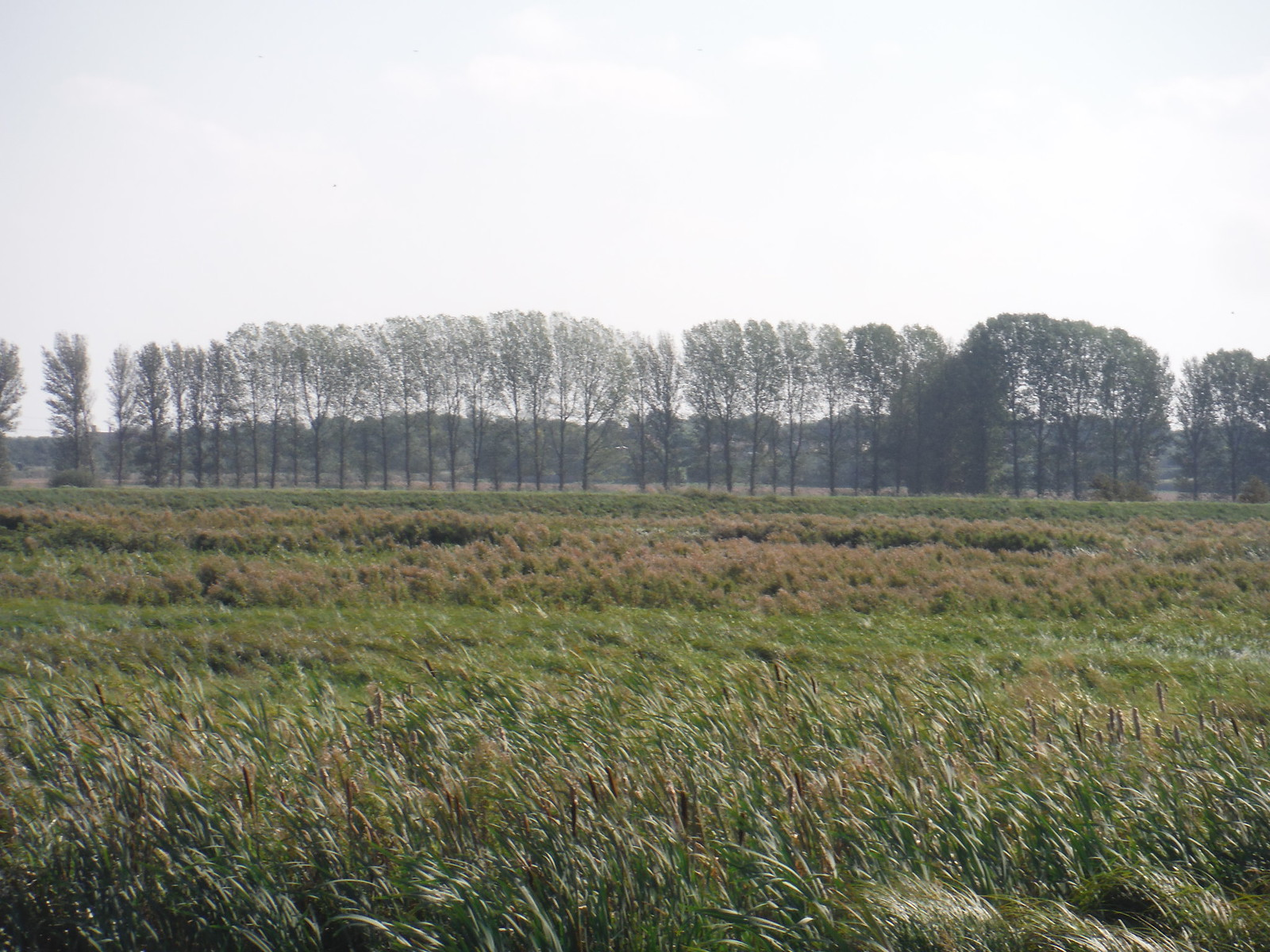 Poplars and Grassy Stuff in River Great Ouse Meadows SWC Walk 118 Ely Circular