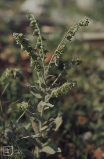Cynoglossum officinale, Fruits Agios Nikolaos