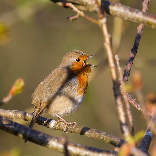 irish tree green bird nature robin birds animals leaf spring branch erithacusrubecula bokeh wildlife fluffy bud birdwatching europeanrobin osiris irishwildlife irishbirds thewonderfulworldofbirds natureinireland