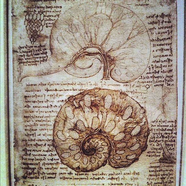 Leonardo Da Vinci anatomy drawing museum tour - cows uteru