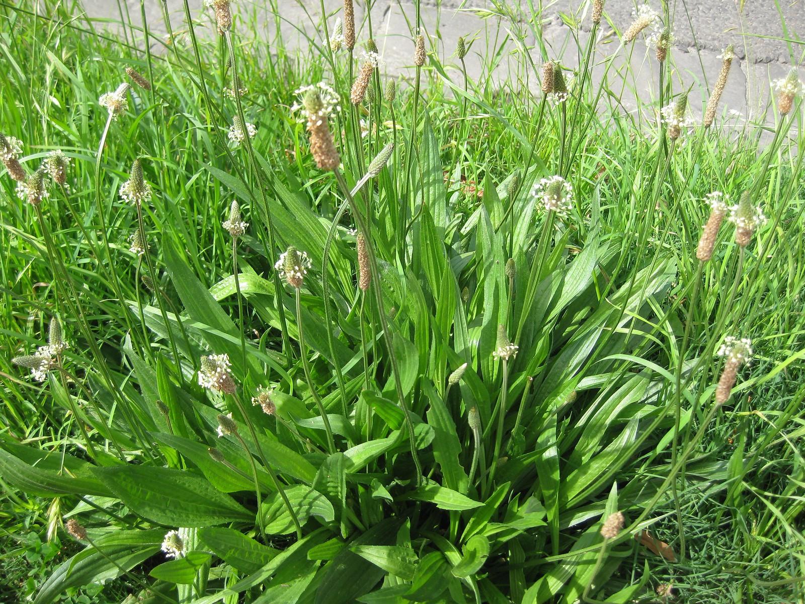common plantain (Plantago lanceolata)