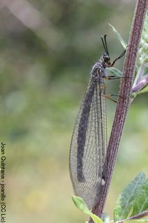Myrmeleon gerlindae | by Joan Quintana (joanillo)
