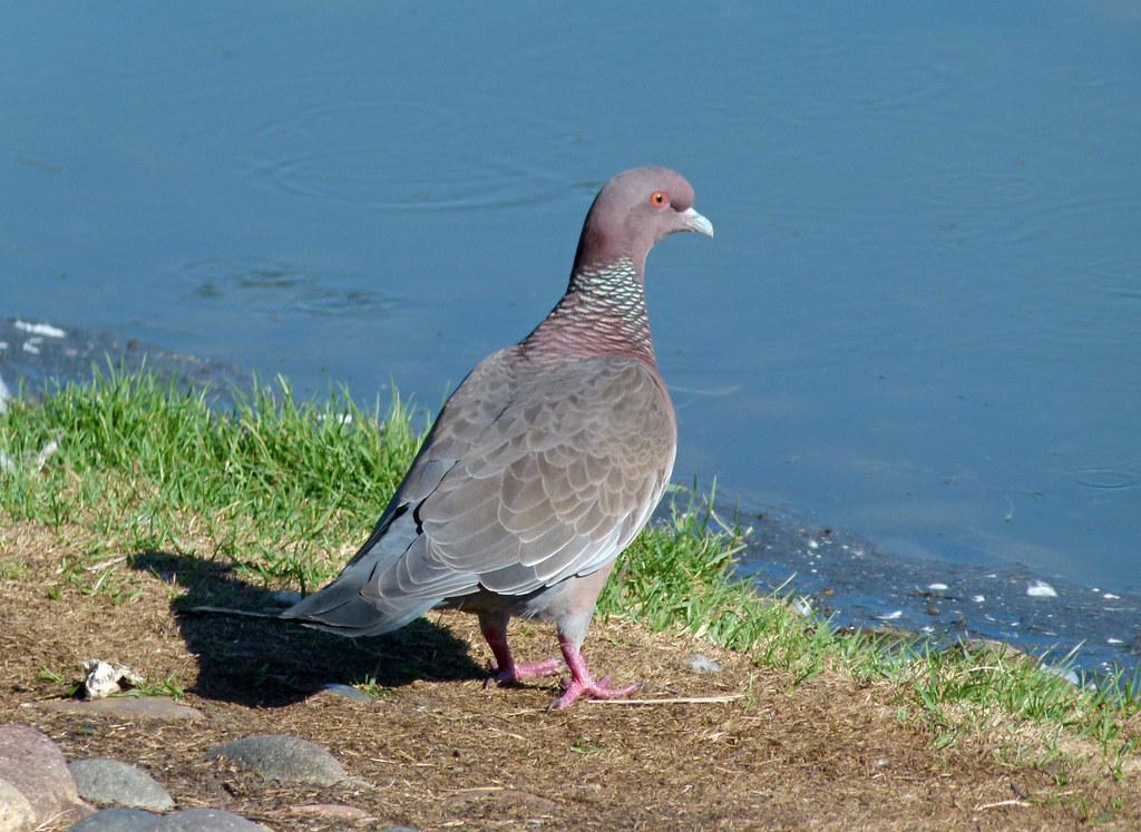 Paloma Picazuró, Picazuro Pigeon (Patagioenas picazuro) (Columba picazuro)