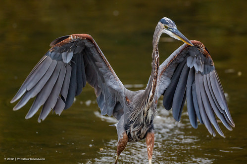 lake fish heron nature water sunrise flying unitedstates pennsylvania hawk fallcolors wildlife raptor egret greatblueheron osprey greategret sanderling peacevalleypark greenheron fountainville thrukurtslenscom kurtwecker