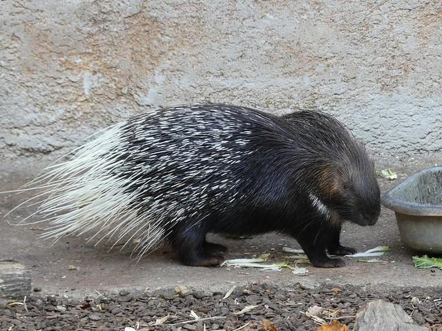 Stachelschwein, Zoo d´Amneville